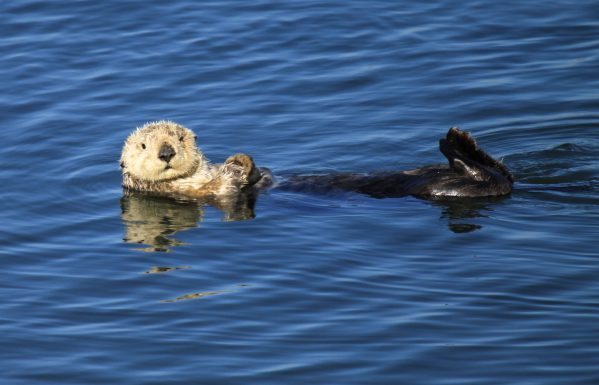 Saving sea otters:  One cool job